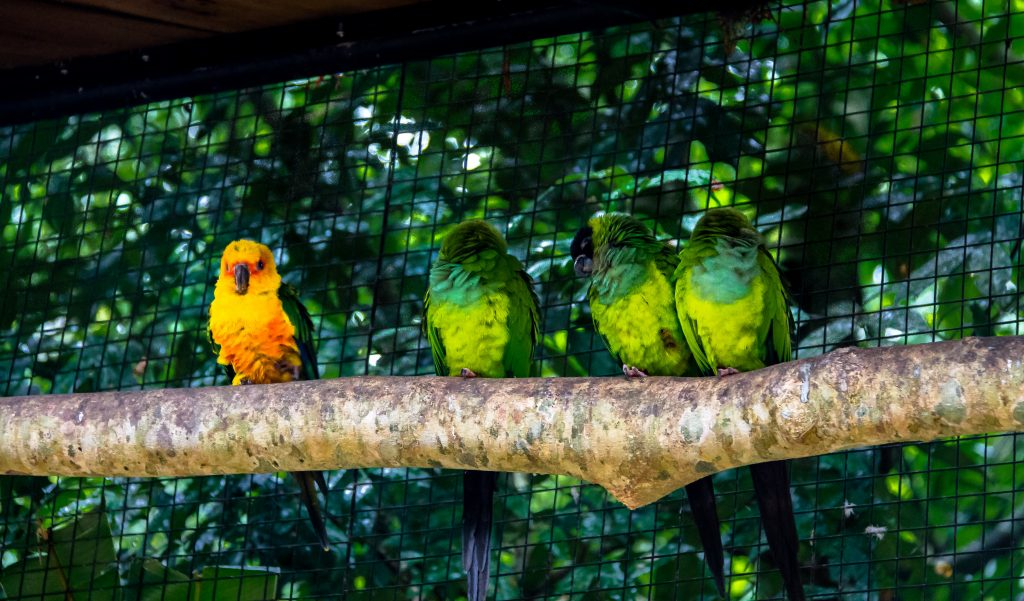 A yellow parakeet on a branch with green parakeets to highlight standing out.